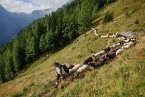 Ovce na Strelovcu 2019 113